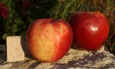 Яблоня «подарок графскому»: описание сорта, фото и отзывы
