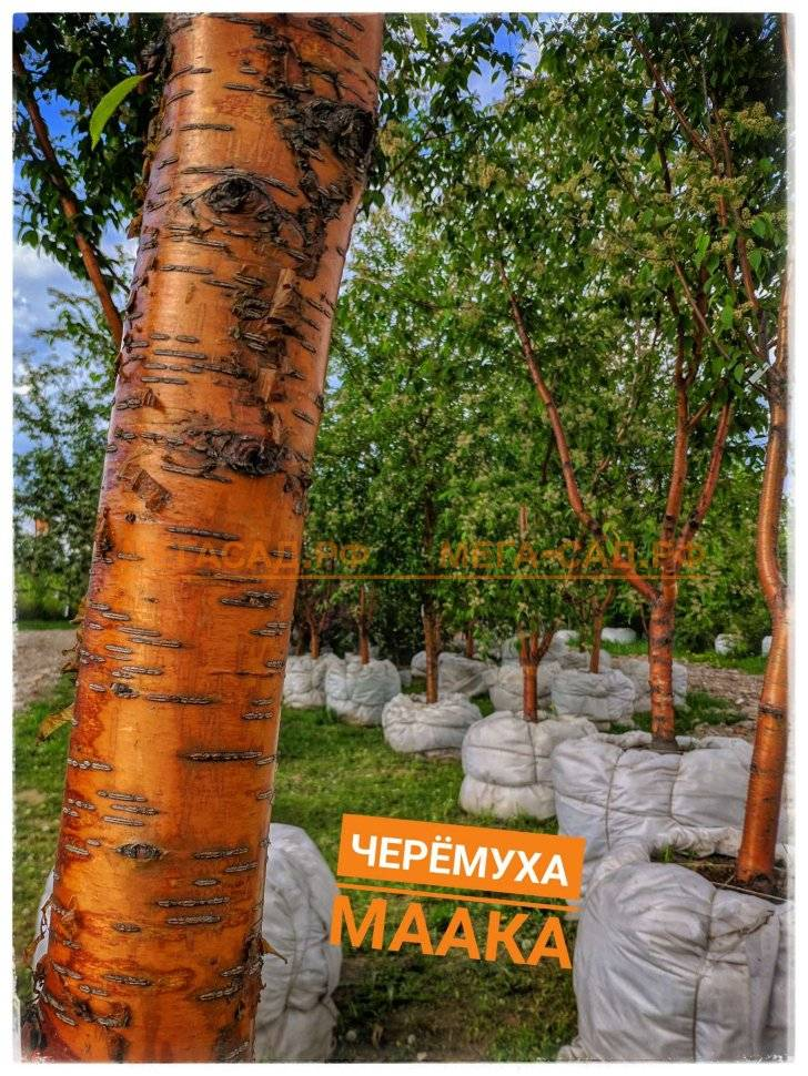 Черёмуха — выращивание, виды и формы . посадка и уход. фото — ботаничка.ru