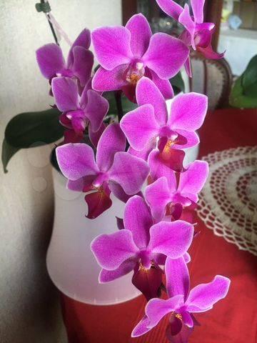 Крупноцветковая орхидея синголо: описание сорта и уход