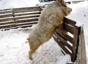 Породы свиней кармал: характеристика, содержание и уход