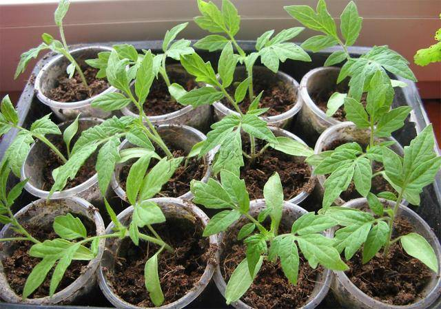 Все о посадке помидоров в сибири. какие сорта томатов лучше для выращивания в открытом грунте в этом регионе?