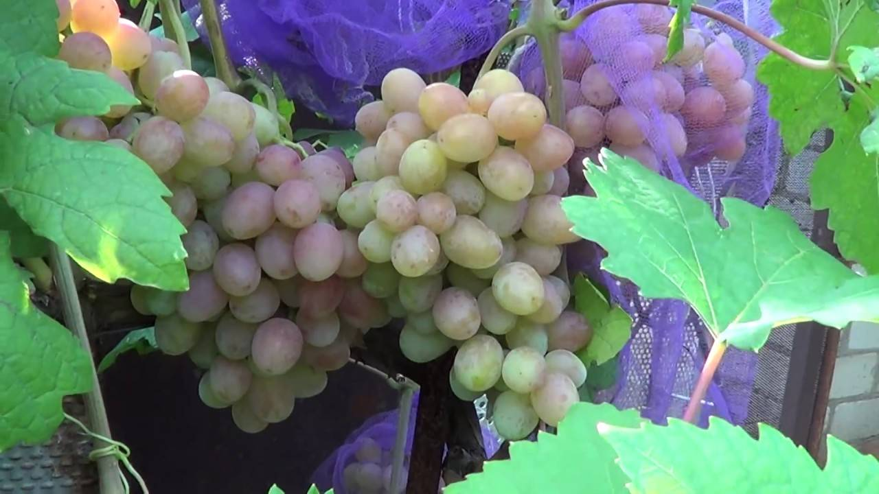 Гурман ранний: сладкий виноград с цветочным ароматом