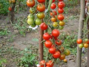 Томат аделина: 7 особенностей и 12 советов по выращиванию и уходу