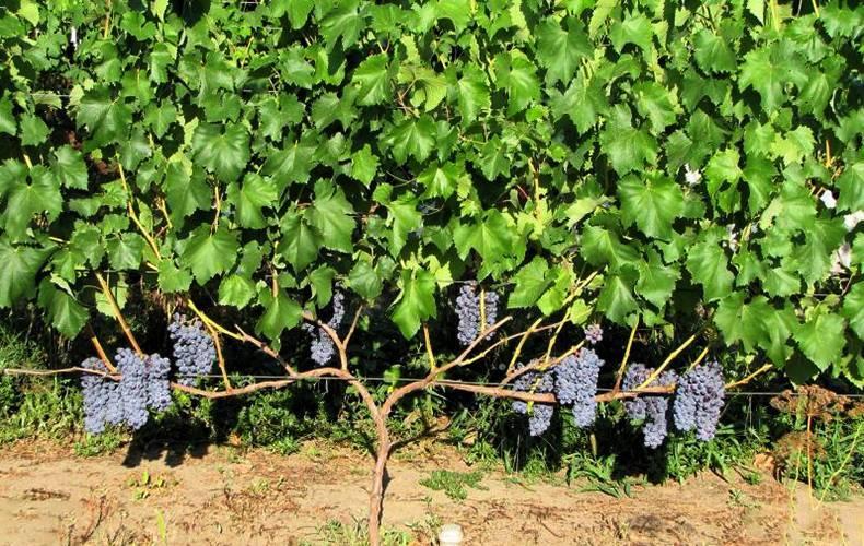Виноград юпитер: описание сорта, отзывы, фото, как ухаживать