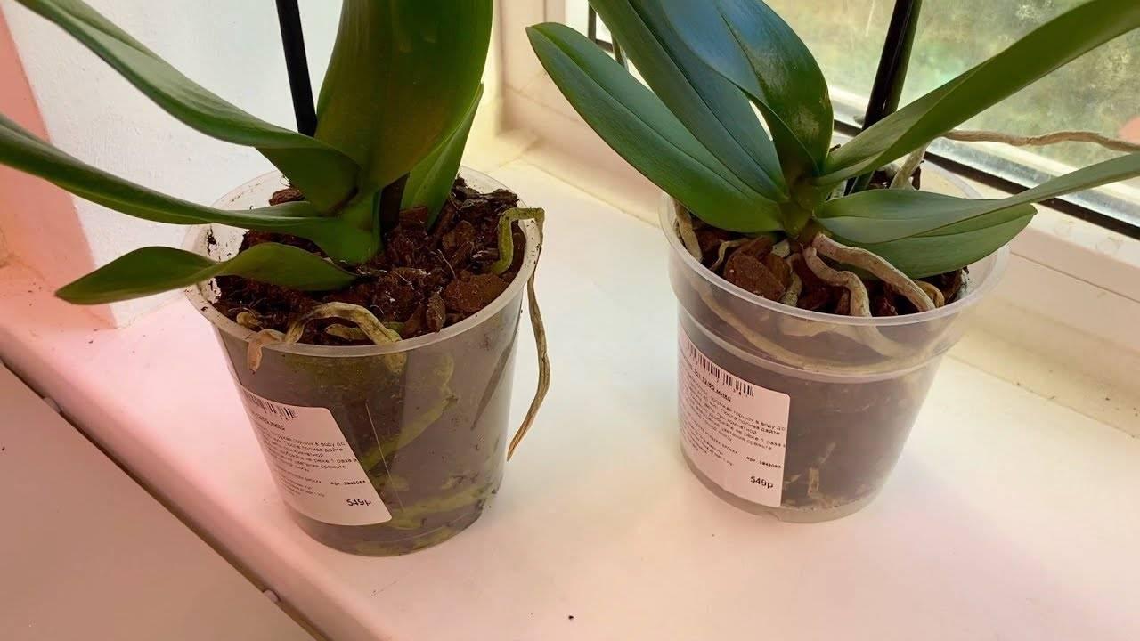 Как часто поливать орхидею в домашних условиях, когда и сколько раз в неделю (в месяц) можно и нужно увлажнять растение: все о режиме полива