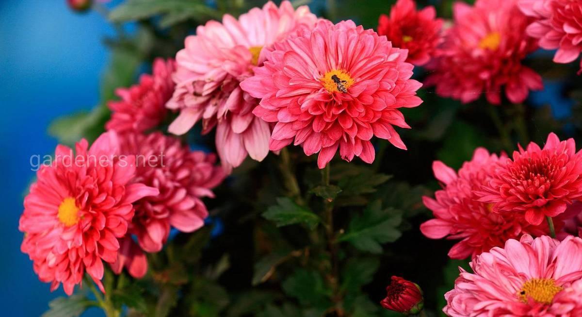 Как сохранить хризантемы зимой не выкапывая: сорта, способы укрытия растений для зимовки в открытом грунте