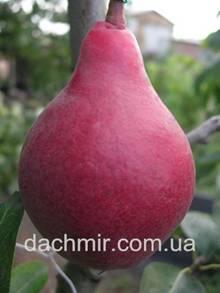 """Груша """"краснобокая"""": описание сорта, характеристика дерева и плодов, фото selo.guru — интернет портал о сельском хозяйстве"""