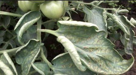 Почему у рассады помидор скручиваются листья причины что делать фото видео