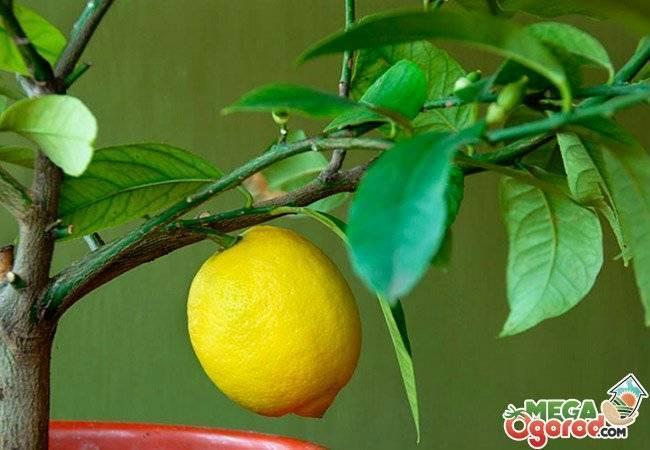 Комнатный лимон: выращивание в домашних условиях, обрезка и уход