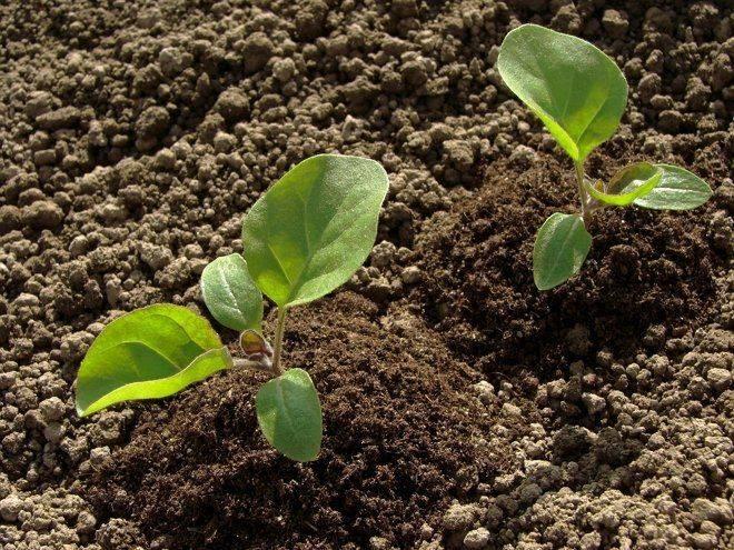 Особенности посадки рассады баклажан в открытый грунт