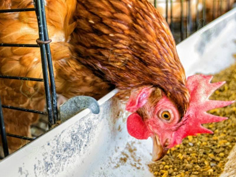 Как повысить яйценоскость кур – простые советы