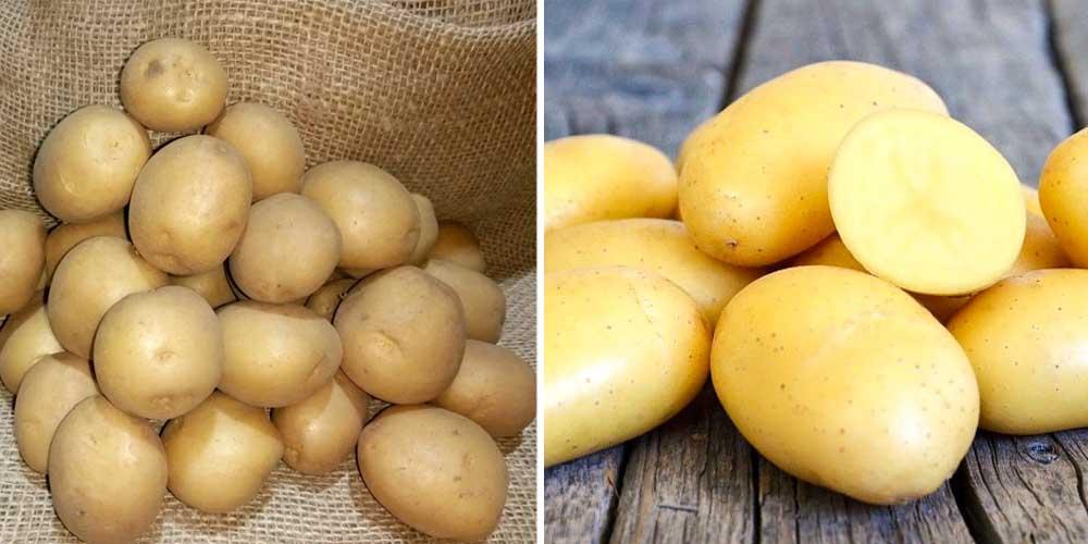 Картофель альвара: описание сорта немецкой картошки, отзывы о ней, фото внешнего вида, вкусовые качества
