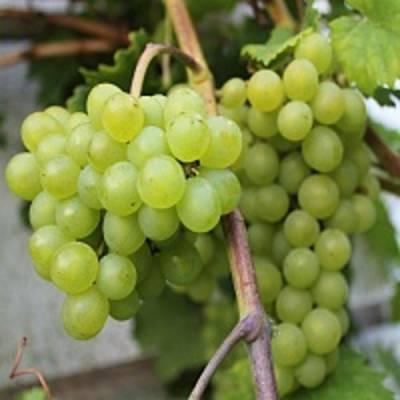 Краса никополя — сорт винограда