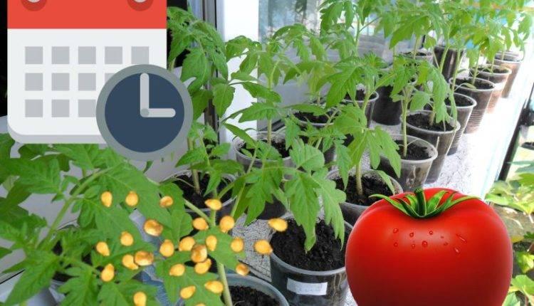 Когда сажать помидоры на рассаду в подмосковье?   выращивание, уход, размножение растений
