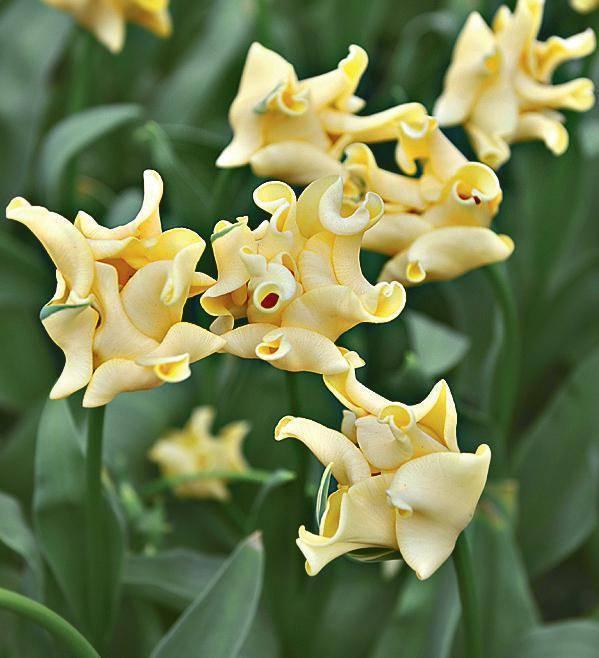 Многоцветковые кустовые тюльпаны: фото и описание