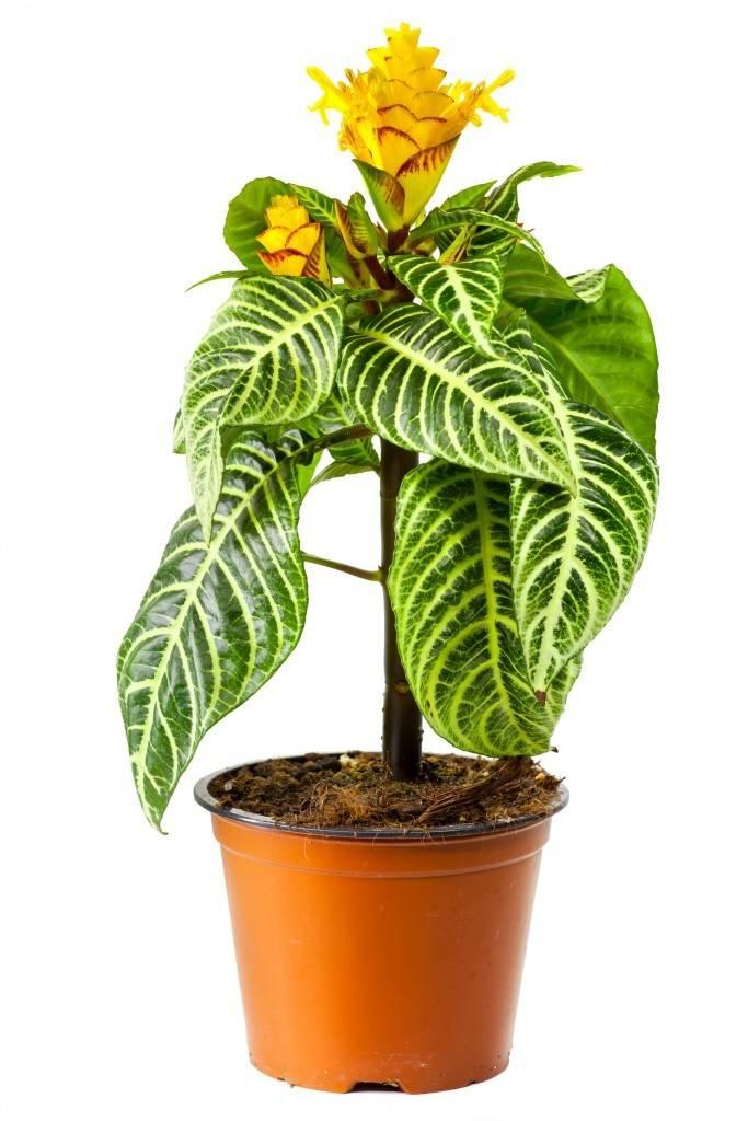 Афеландра уход в домашних условиях, фото растения, размножение, пересадка