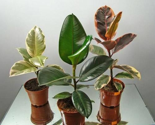 Размножение каучуконосного фикуса в домашних условиях: как размножить его черенками и листом? особенности дальнейшего ухода