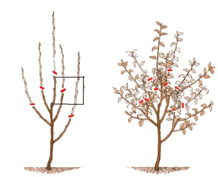 Как обрезать яблони осенью: схема, видео и фото