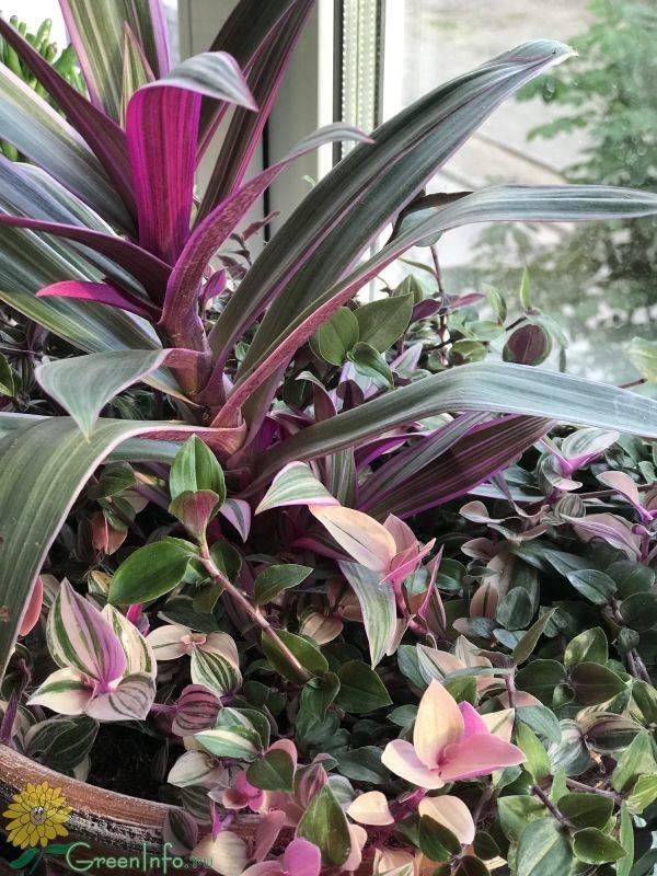 Цветок рео покрывальчатое : фото и уход в домашних условиях, как размножить