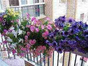 Выращивание рассады петунии в домашних условиях – когда сеять и как ухаживать