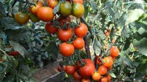 ✅ помидоры снегирь. томат снегирь: отзывы фото урожайность - cvetochki-ulyanovsk.ru