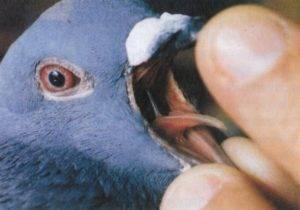 Орнитоз — википедия. что такое орнитоз