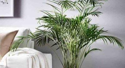 Финиковая пальма - уход в домашних условиях, фото растения