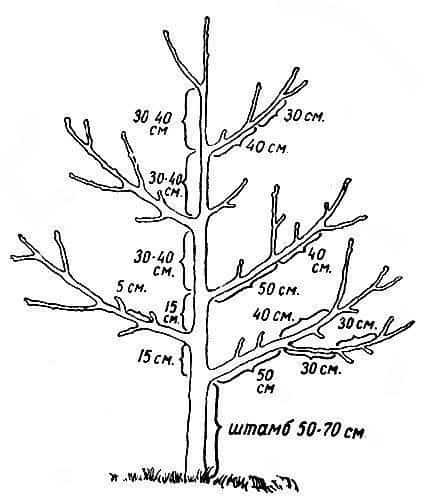 Инструкция по выполнению обрезки грецкого ореха осенью