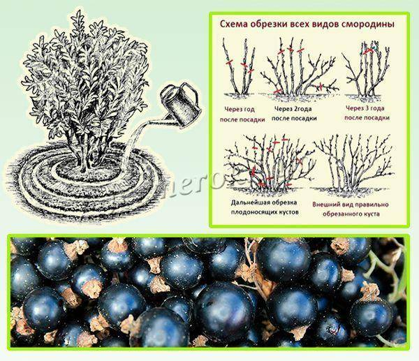 Смородина черная селеченская, селеченская 2