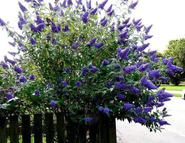 Будлея для сада: выращивание, посадка и уход, пересадка, размножение
