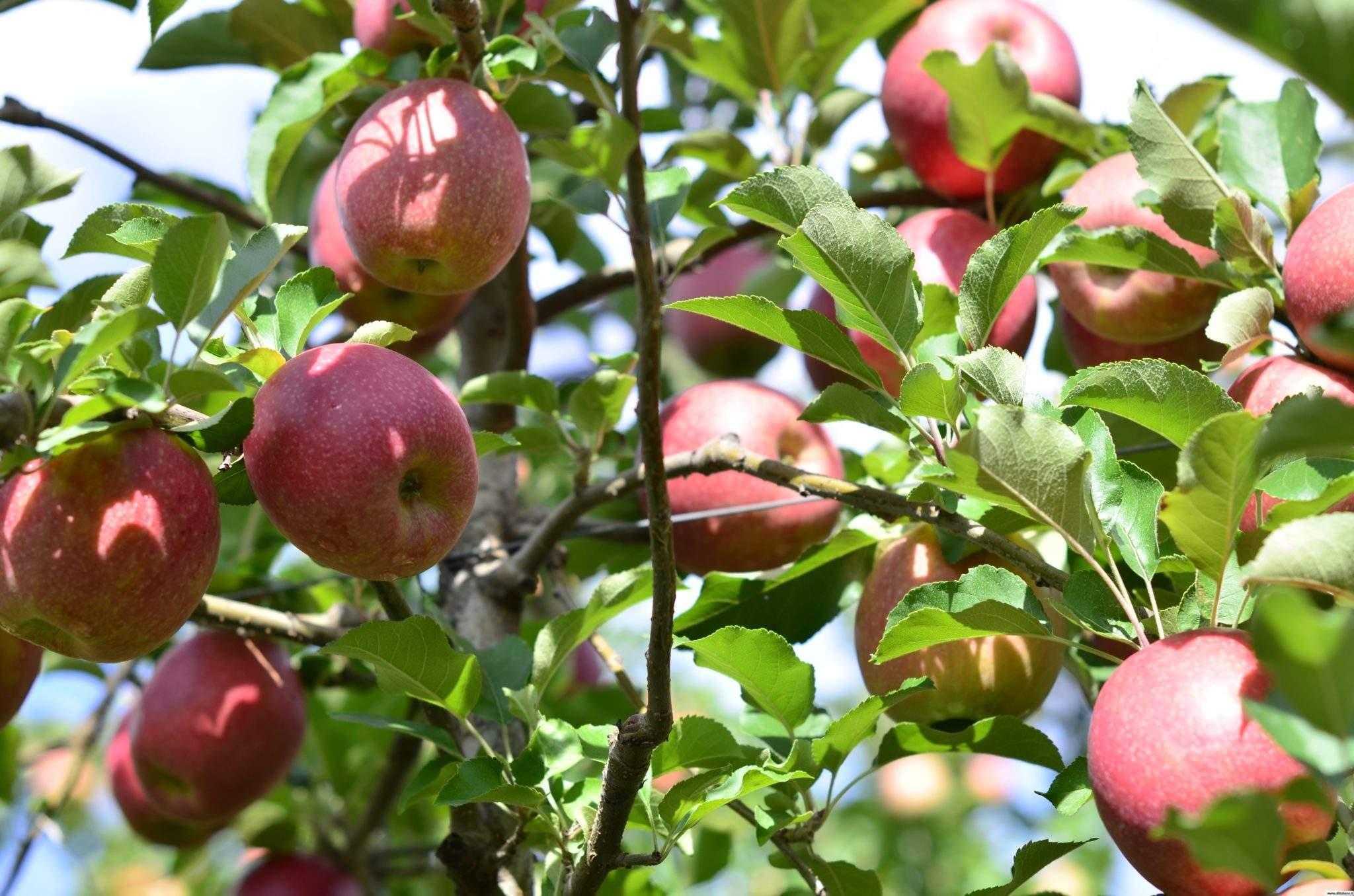 Болезни молодых яблонь и их лечение: фото с признаками