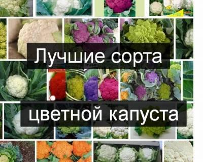 10 лучших сортов цветной капусты для регионов россии