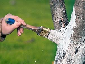 Зачем белят стволы деревьев в саду?