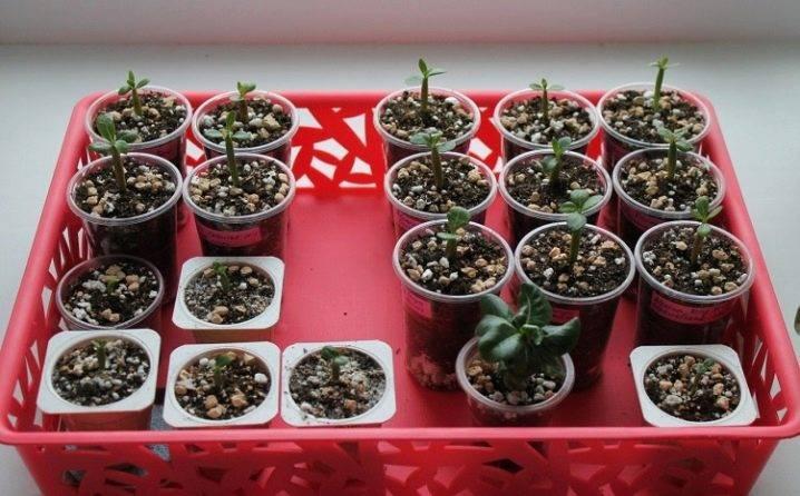Адениум из семян в домашних условиях тонкости посева и ухода