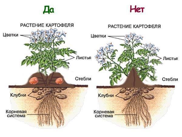 Способы посадки картошки, чтобы получить хороший урожай: сроки, как правильно сажать и на какую глубину