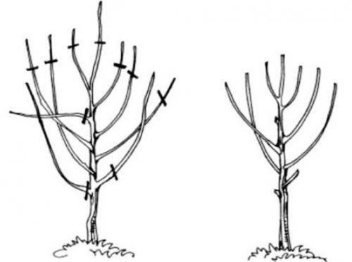 Как и когда обрезать вишню: весной или осенью, схема для начинающих