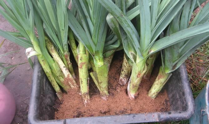 Как хранить лук-порей в домашних условиях зимой: когда убирать урожай и можно ли замораживать, как использовать?