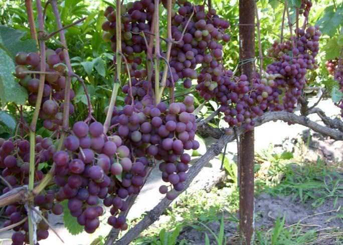 Десертные и винные сорта винограда: лучшие из лучших