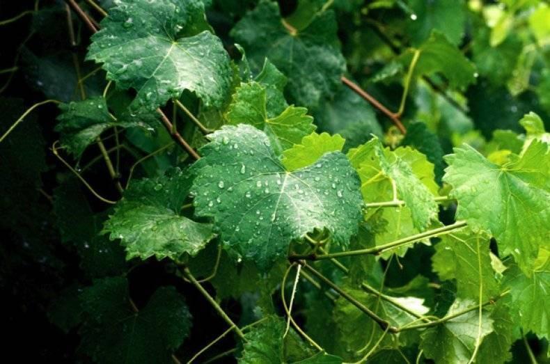 Польза и вред винограда для организма. польза ягод, косточек и листьев разных сортов