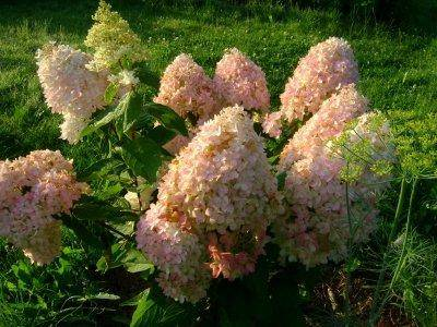 Гортензия метельчатая (паникулата) – сорта, посадка и уход в открытом грунте