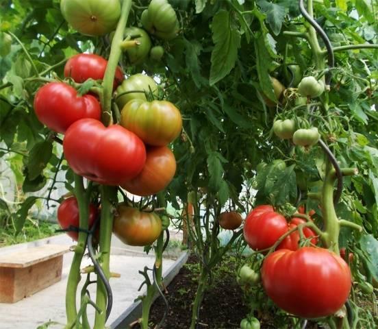 """Томат """"малиновка"""": описание, характеристика и особенности сорта русский фермер"""