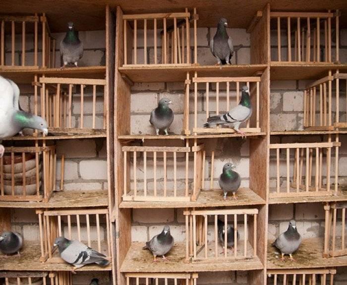 Строительство голубятни своими руками - пошаговая инструкция с фото, видео и чертежами   golubevod.net