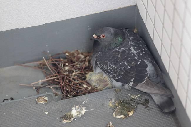 Как избавиться от голубей на балконе, подоконнике или крыше