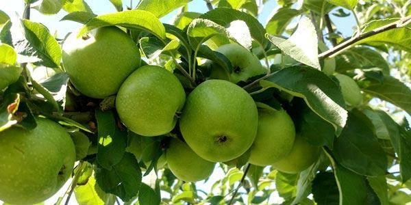 Яблоки семеренко: описание сорта, фото, отзывы, калорийность