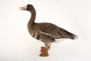 Тулузская порода гусей: описание и фото мясной породы