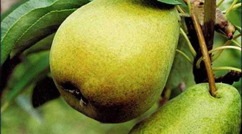 Выращиваем грушу: посадка, уход, обрезка, сорта. фото — ботаничка.ru