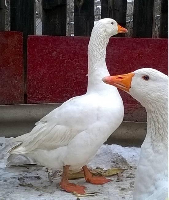 Порода гусей датский легард