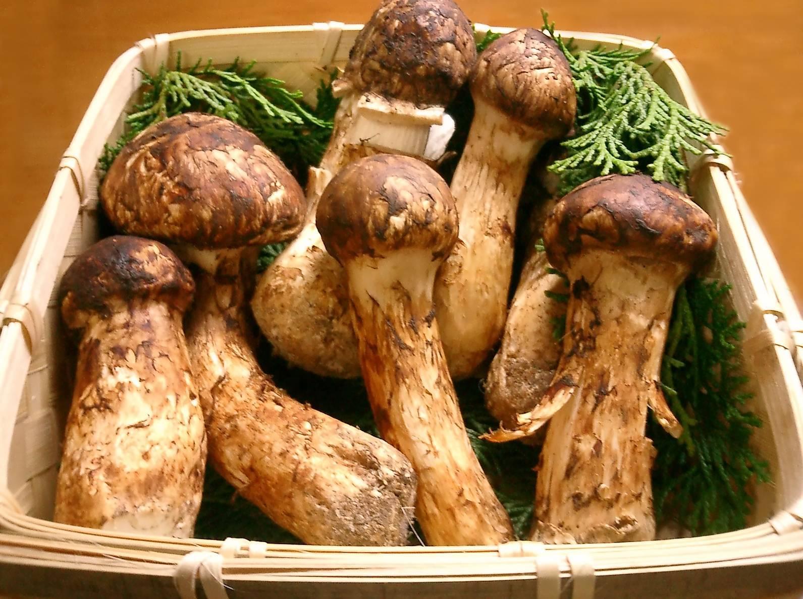 Мацутаке (tricholoma matsutake) –  грибы сибири
