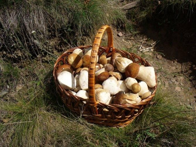 Фирменные методы выращивания белых грибов в домашних условиях