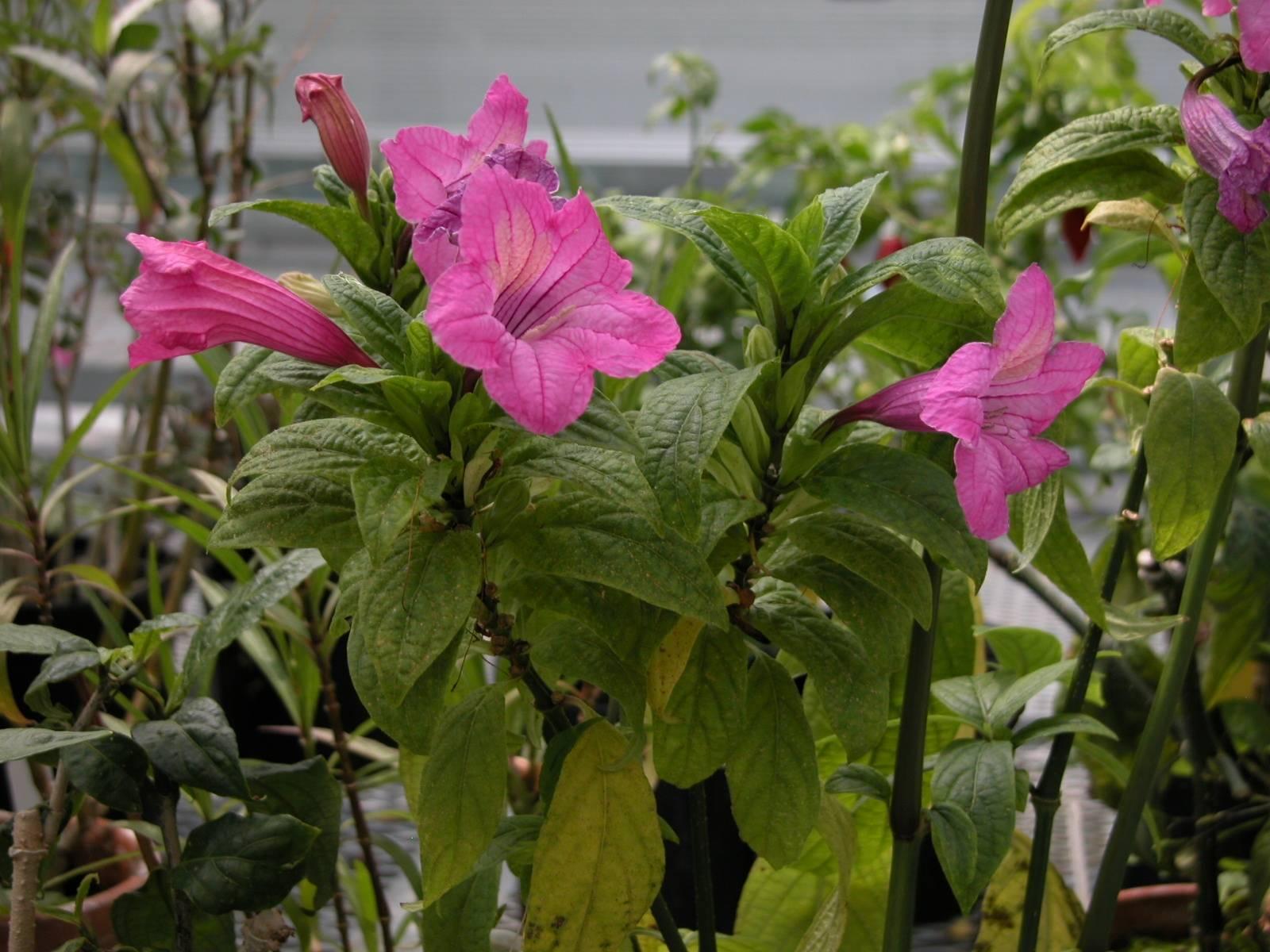 Замечательный цветок руэллия бриттона